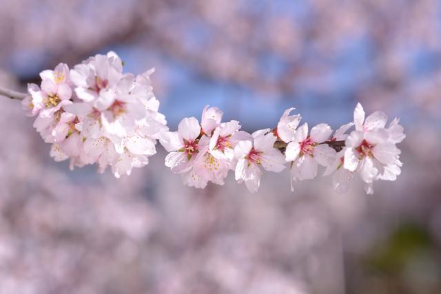 アーモンドの花02.jpg