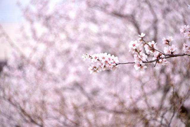 アーモンドの花03.jpg